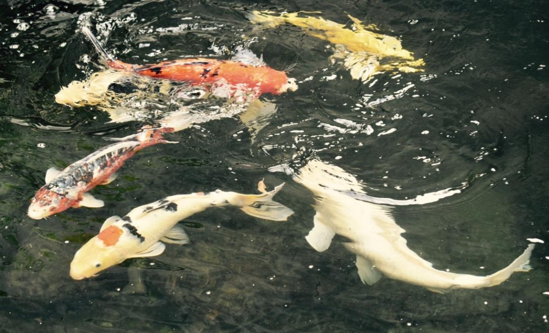 danse des poissons